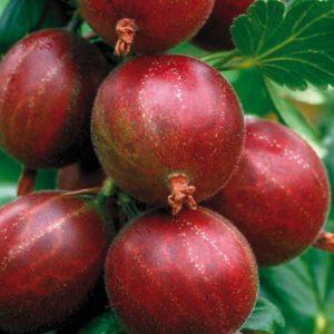 groseilles rouge maqueraux hinnomaki