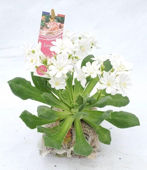 lewisia blanche