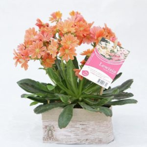 lewisia orange