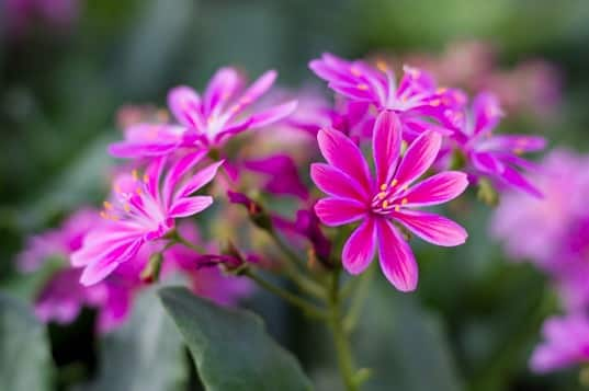 lewisia rose