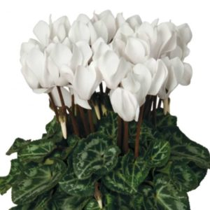Mini Cyclamen blanc
