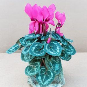 Mini cyclamen Rose