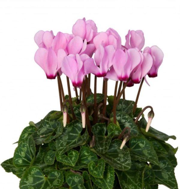 Mini Cyclamen Rose Verano