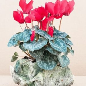 Mini cyclamen Rouge