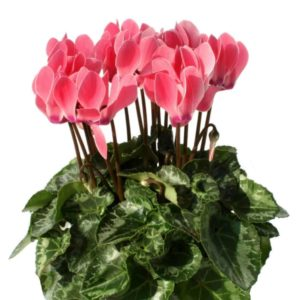 Mini Cyclamen saumon verano