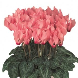 Mini cyclamen saumon