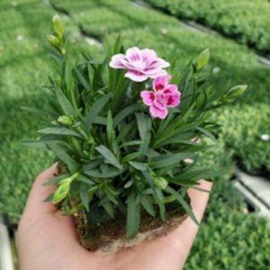 Mini dianthus pink kissies