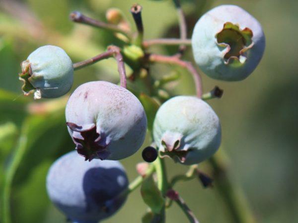 Myrtilles blue crop
