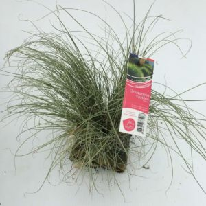 graminée carex amazon mist