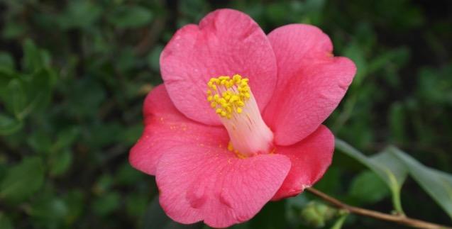 camélia du japon à fleurs simple roses