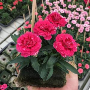 dianthus oscar purple wing