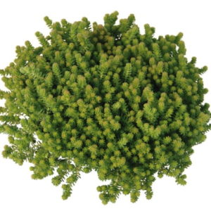sedum blue cushion