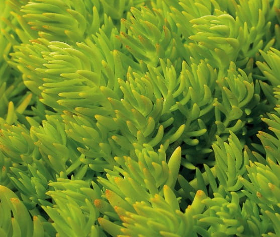 sedum orpin lemon ball