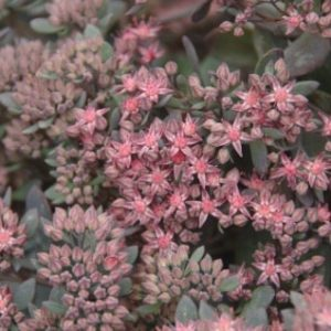 sedum red canyon