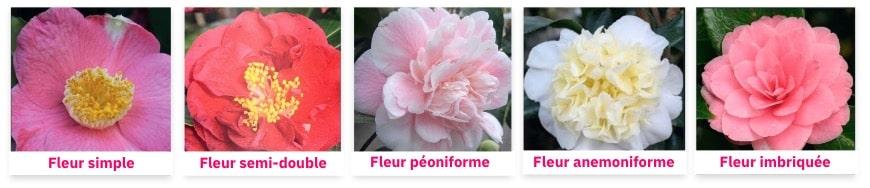 comparaison des différents type de fleurs de camélia du japon