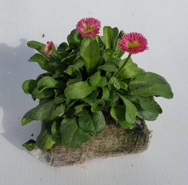 bellis fleurs fuschia