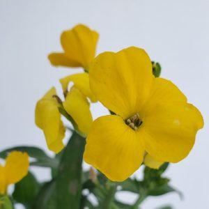 giroflée fleur jaune