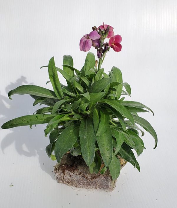 giroflee fleurs mauves