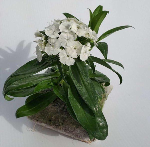 oeillet de chine fleurs blanches