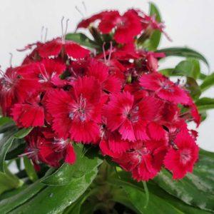 oeillet de chine fleurs rouges