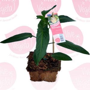 solanum muricatum en pot de 10cm 100% biodégradable