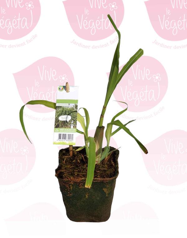 plant de citronnelle en pot biodégradable de 10cm