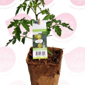 plant de tomate cerise green envy en pot biodégradabe de 10cm