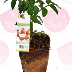 Plant de tomate red pear en pot biodégradable de 10cm