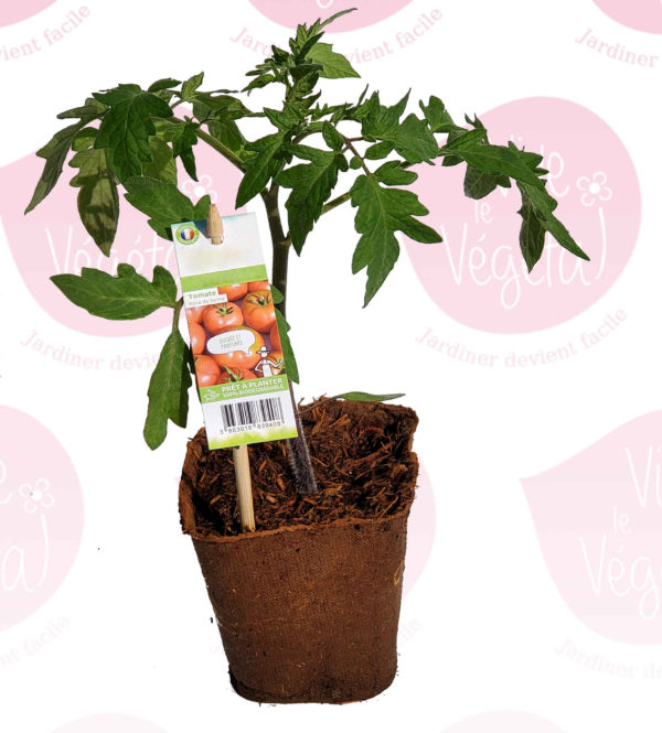 plant de tomate rose de berne en pot biodégradable de 10cm