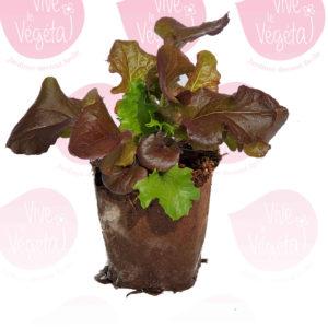 Salade à couper en pot biodégradable