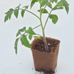 plant de tomate andine cornue cultivé dans un pot 100% biodégradable