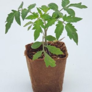 Plant de tomate liguria cultivé en pot 100% biodégradable