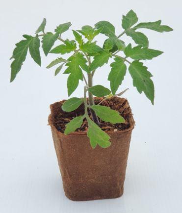 Plant de tomate liguria cultivé en pot 100% biodégradable