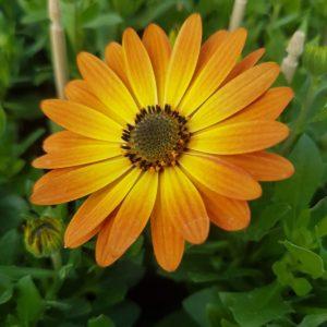 fleur d'osteospermum orange avec le coeur jaune