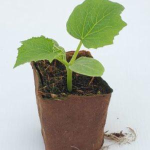 plant de concombre tanja