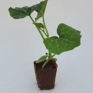 plant de courge musquée de provence dans un pot biodégradable