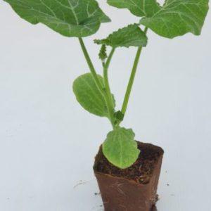 plant de courgette longue de nice en pot biodégradable