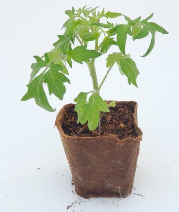 plant de tomate ananas cultivé dans un pot 100% biodégradable