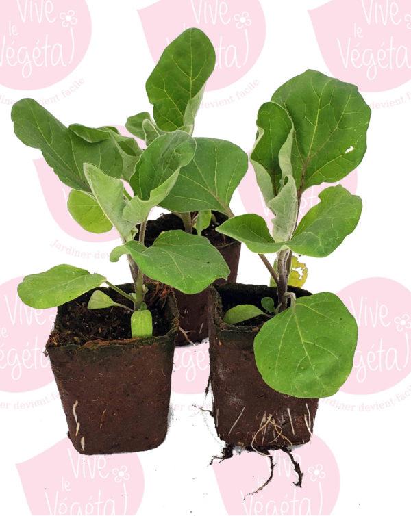 plant d'aubergine bianca di sfumata en pot biodégradable