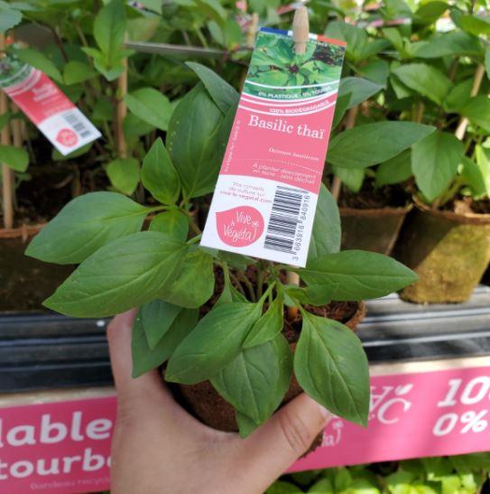 plant de basilic thaï en pot biodégradable de 10cm