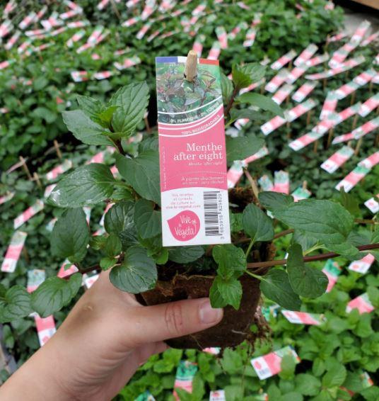 plant de menthe after eight en pot biodégradable de 10cm