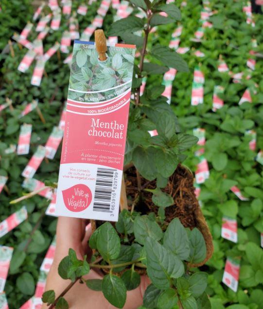 menthe chocolat en pot de 10cm biodégradable