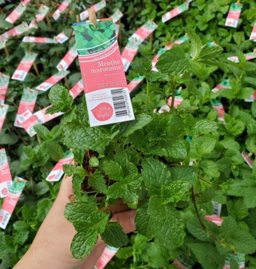plant de menthe marocaine en pot biodégradable de 10cm