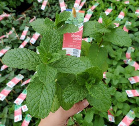 plant de menthe mojito en pot de 10cm biodégradable