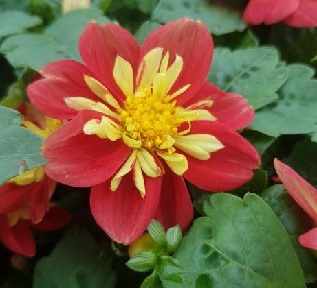 Dahlia rouge et jaune