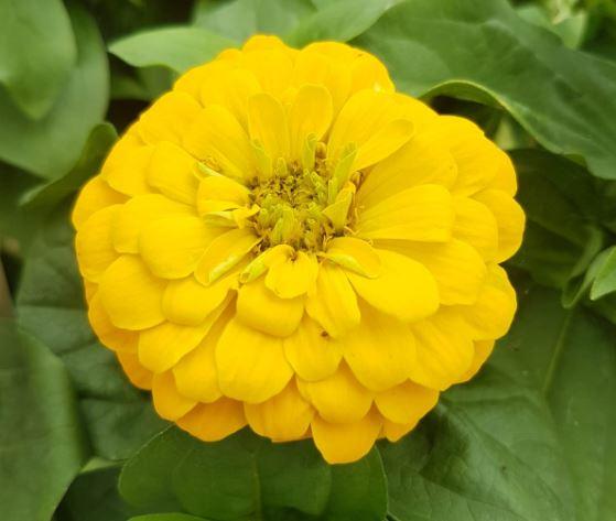 fleur de zinnia jaune vue de près